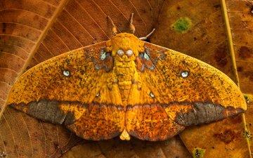 листья, бабочка, крылья, saturniid moth, yasuni national park, эквадор