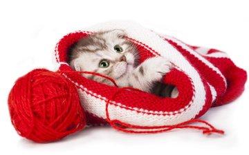 котенок, шапка, клубок, малыш, нитки, скоттиш-фолд, шотландская вислоухая кошка