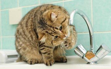 cat, shorthair, british, british shorthair