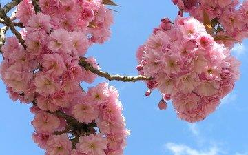 небо, цветы, ветки, сакура, флора