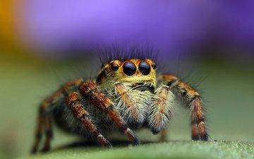 глаза, насекомое, паук