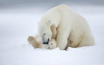 снег, зима, полярный медведь, медведь, белый, любовь, медведи, аляска, детеныш, медвежонок, материнство, медведица