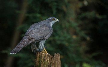 природа, птица, клюв, хищная, ястреб-тетеревятник