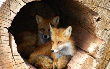 ствол, жилье, бревно, лисицы, лисы, укрытие