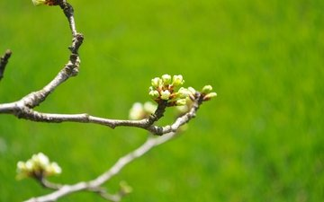 nature, flowering, buds, branches, spring, cherry, green background