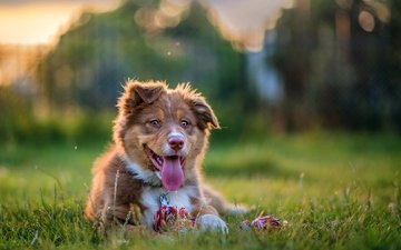 dog, puppy, language, australian shepherd, aussie