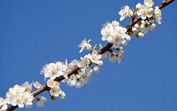 the sky, branch, petals, garden, spring