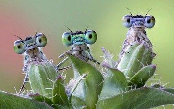 природа, фон, насекомые, стрекозы