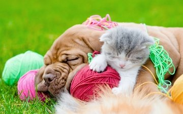 sleep, kitty, dog, stay, friendship, friends, balls, bulldog, thread, kitten