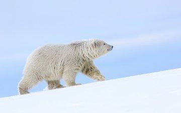 снег, полярный медведь, медведь, белый медведь, аляска