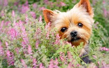 цветы, взгляд, собака, мордашка, йорк, йоркширский терьер