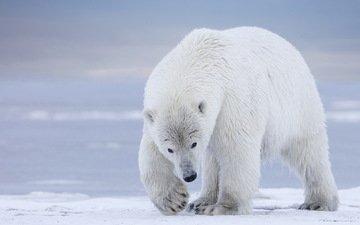 природа, фон, медведь, белый