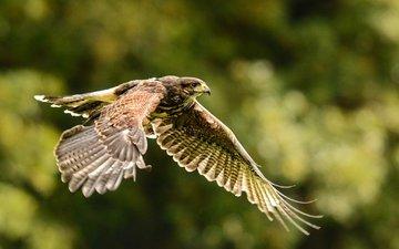 природа, полет, осень, крылья, птица, ястреб, хищная, пустынный канюк