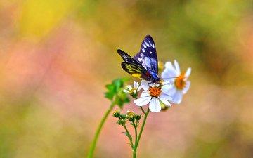цветы, фон, бабочка, белые, космея