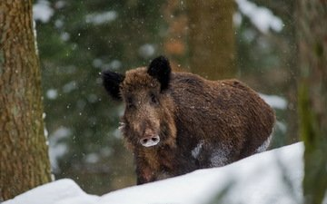 nature, winter, boar