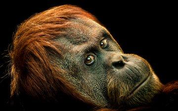 взгляд, обезьяна, примат, ape, primate