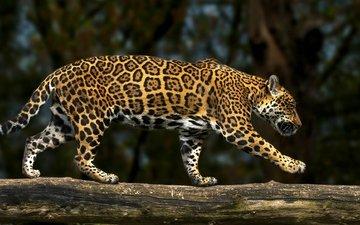 хищник, ягуар, бревно, дикая кошка