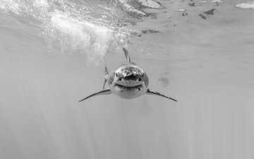 nature, sea, black and white, shark, underwater world