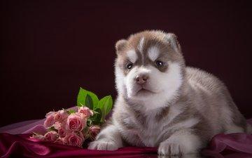 розы, щенок, ткань, хаски, порода