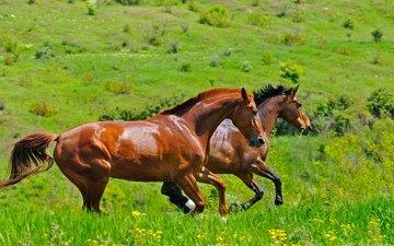 трава, поле, пара, лошади, кони, два, двое, коричневые, скачут