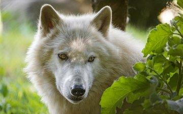 морда, взгляд, белый, волк, ©tambako the jaguar, арктический волк