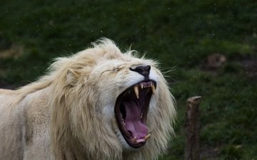 face, fangs, predator, leo, language, mane, mouth, yawns, wild cat, white lion