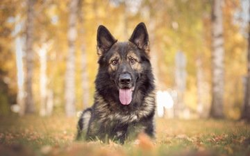 face, look, dog, each, language, german shepherd, shepherd
