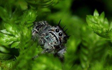 глаза, листья, паук, лапки, растительность, jumping spider