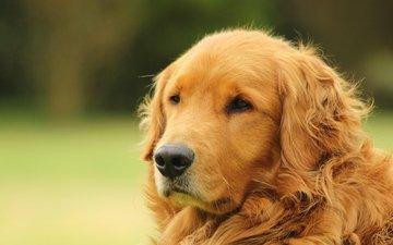 морда, портрет, собака, золотистый ретривер, голден ретривер
