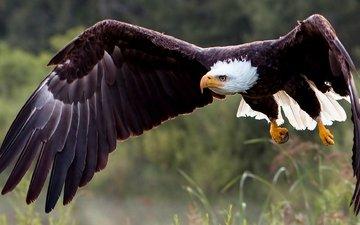 природа, крылья, хищник, птица, белоголовый орлан