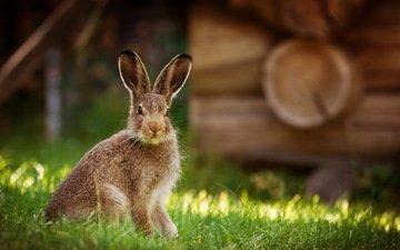 природа, фон, кролик, животное, заяц
