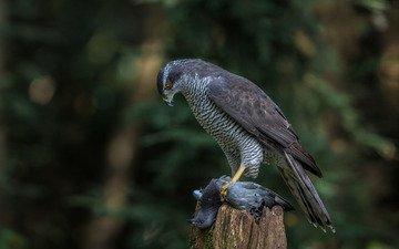 природа, птица, добыча, хищная, ястреб-тетеревятник
