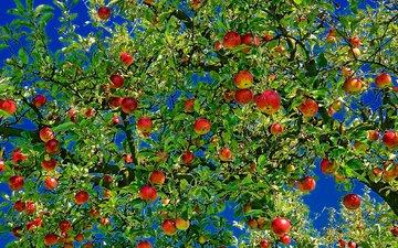природа, листья, ветви, яблоки, плоды, яблоня