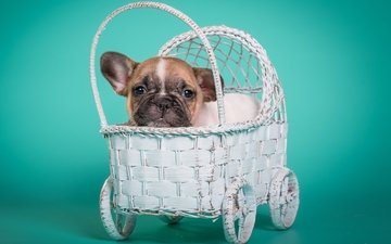puppy, doggie, bulldog, stroller, french