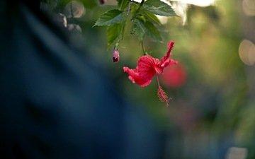 природа, цветок, лепестки, красный, гибискус
