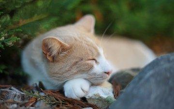 природа, хвоя, кот, спит, камень
