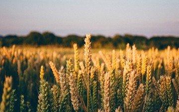 природа, поле, горизонт, пшеница, колоски, много