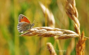 greens, insect, butterfly, spike, bokeh