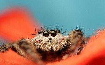 глаза, листья, цветок, лапы, насекомые, паук, мухоловка, jumping spider