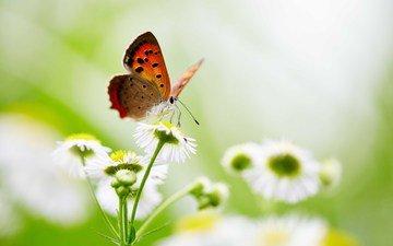 цветы, насекомое, бабочка, крылья, боке
