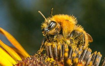 насекомое, цветок, пчела, пыльца
