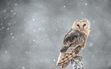 сова, ветка, снег, взгляд, птица