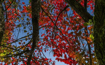 небо, дерево, листья, осень, ствол, багрянец
