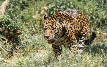 predator, jaguar, walk, language, zoo, wild cat