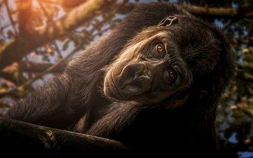 взгляд, обезьяна, примат