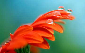 макро, цветок, роса, лепестки, гербера