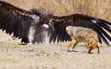 крылья, лиса, гриф, хищник, птица, перья, оборона