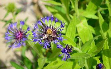 цветы, трава, природа, насекомое, лето, пчела, васильки, дача