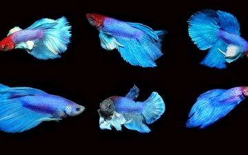 рыбы, петушок, бойцовая рыбка, аквариумная рыбка, петушки