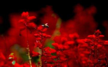 цветы, насекомое, лепестки, пчела